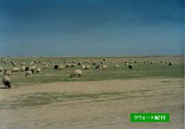 砂漠地帯を走っていると羊の放牧が見られた